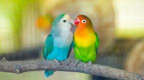 Lovebirds-800x450.jpg