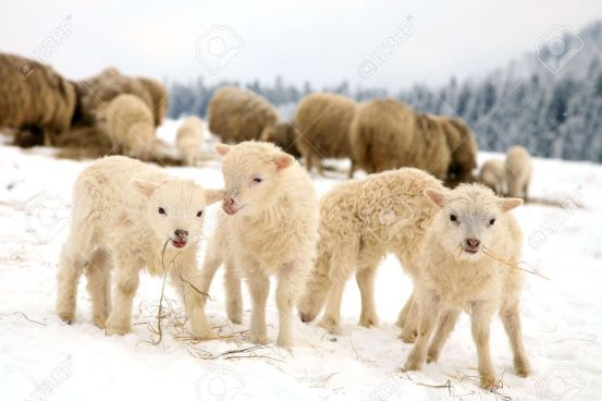 22966338-herd-of-sheep-skudde-with-lamb-eating-the-hay-meadow-covered-with-snow-winter-on-the-farm.jpg