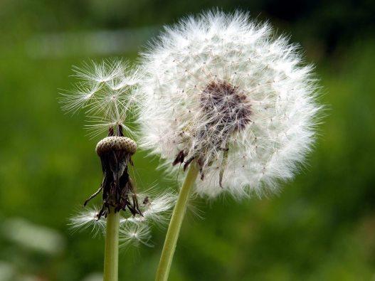 dandelion-seed-head